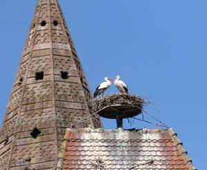 Les cigognes dans leur nid